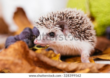 African miniature hedgehog baby playing and researching. Focus on hedgehog head.