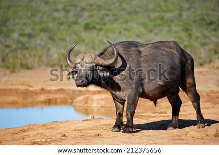 African or Cape buffalo (Syncerus caffer) at a waterhole, Addo National park, South Africa - stock photo