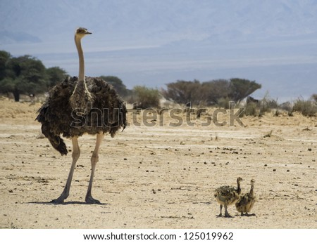 African ostrich (Struthio camelus) with chicks in Israeli nature reserve park, 35 km north of Eilat, Israel