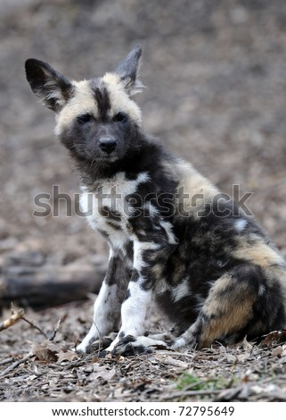 African painted wild dog (Lycaon pictus) puppy - stock photo