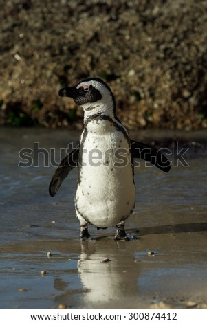 African penguin along the shoreline of Boulder's Beach near Cape Town, South Africa. - stock photo