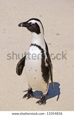 African Penguin, formely called Jackass Penguin, Spheniscus demersus. Beaded with water droplets, this penguin is standing on the beach at Boulders, Cape Town, having just emerged from the sea. - stock photo