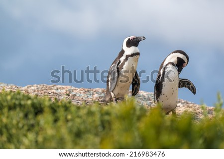 african penguin in Boulder beach at Mossel Bay, South Africa - stock photo