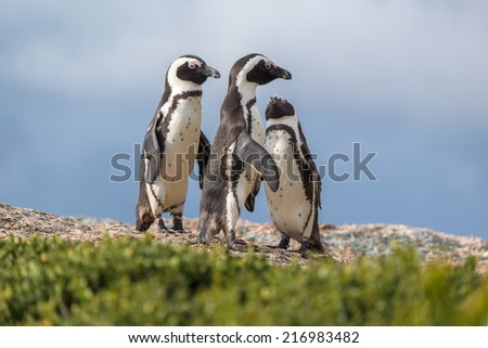 african penguin in Boulder beach at Mossel Bay, South Africa