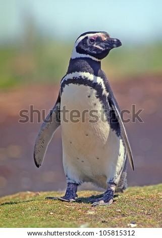 African Penguin in coast - stock photo