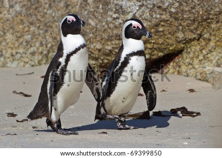 African Penguin, South Africa - stock photo