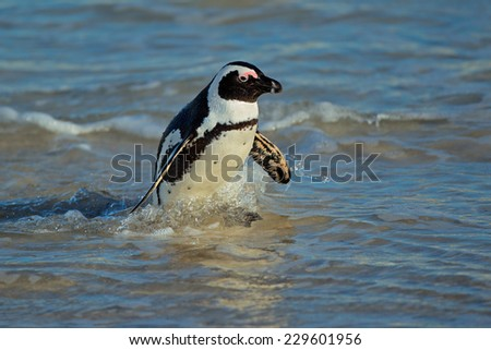 African penguin (Spheniscus demersus) in shallow water, Western Cape, South Africa - stock photo
