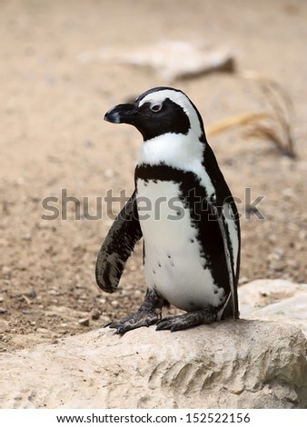 African penguin standing on a rock  - stock photo
