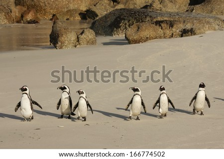 African Penguin, Table Mountain National Park, Boulders, South Africa - stock photo