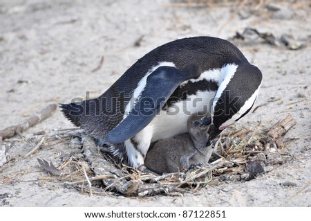African penguin with chick - stock photo