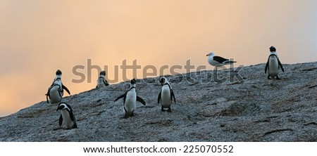 African penguins in twilights. Sunset sky. African Penguin (spheniscus demersus) , National Park, Boulders, South Africa - stock photo