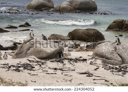 African penguins on a beach in False Bay, South Africa