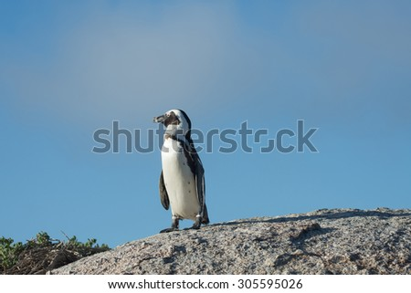 African penguins on a rock with blue sky on Boulder's Beach near Cape Town, South Africa - stock photo