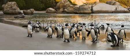 African Penguins on Boulders Beach, Cape Town, South Africa - stock photo