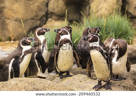 African penguins (Spheniscus demersus) against a blue sky, Western Cape, South Africa - stock photo