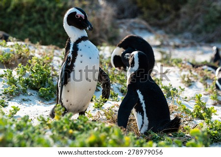 African Penguins (Spheniscus Demersus) at Boulders Beach (Simonstown) in South Africa - stock photo