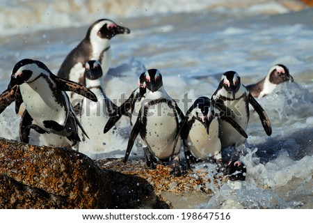 African penguins (Spheniscus demersus) in shallow water, Western Cape, South Africa - stock photo