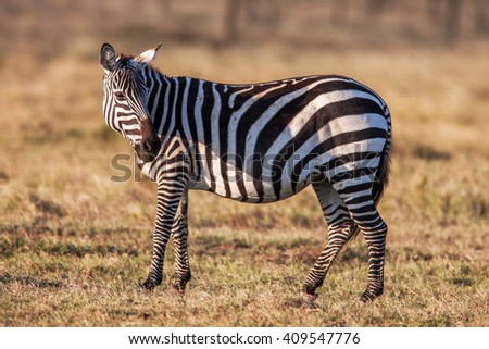 African plains zebra on the dry brown savannah grasslands browsing and grazing.  - stock photo