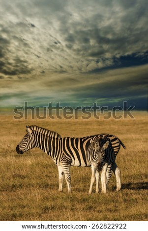 african plains zebra on the dry brown savannah grasslands browsing and grazing with dramatic stormy sky clouded over