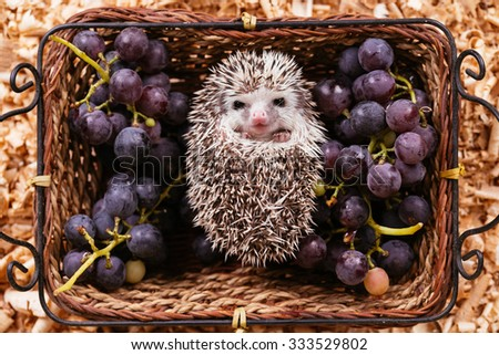 African pygmy hedgehog baby in a wooden basket. Retro film look. Selective focus. - stock photo