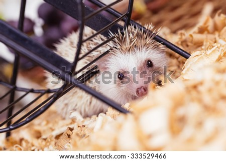 African pygmy hedgehog baby playing. Focus on hedgehog's head. - stock photo