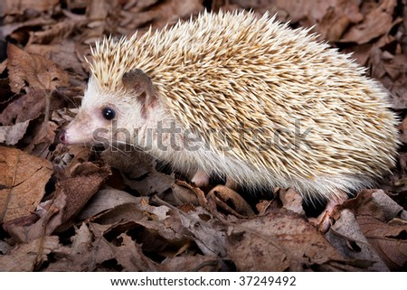 African pygmy hedgehog walking in dead leaves