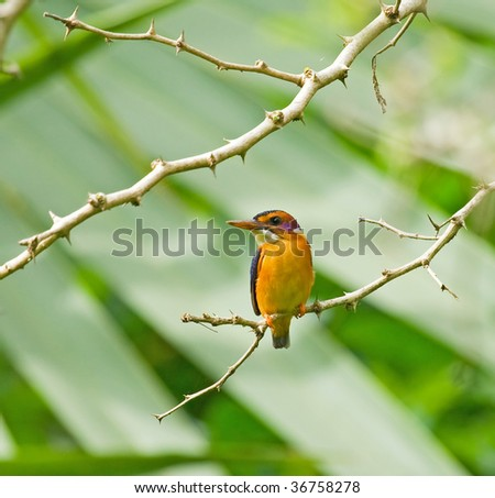 African Pygmy Kingfisher - stock photo