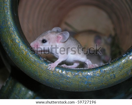 African Pygmy Mouse (Mus minutoides) - stock photo