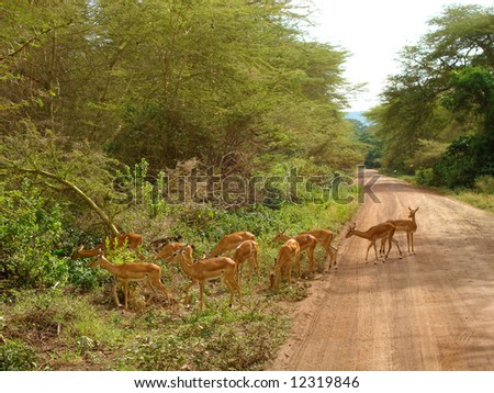African Scenic Impala - stock photo