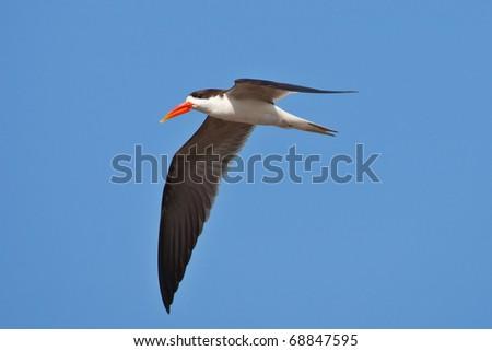 African Skimmer, Chobe National Park, Botswana - stock photo