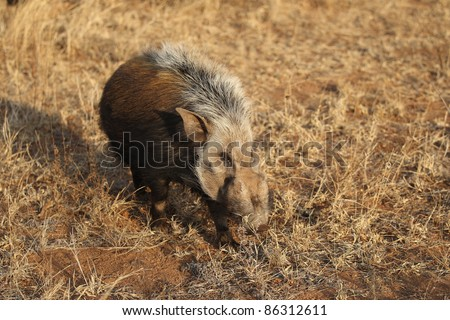 African Southern Bush Pig