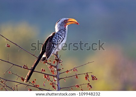 African southern yellowbilled hornbill - stock photo