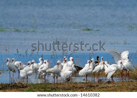 African spoonbills (Platalea alba), Chobe National Park, Botswanna, southern Africa - stock photo