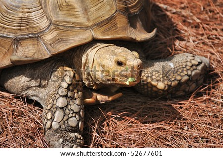 African Spur Thighed Tortoise (Geochelone sulcata) close up