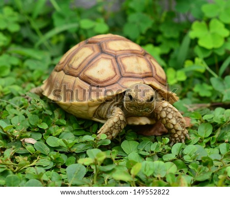 african spurred sulcata - stock photo