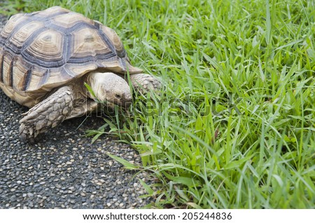 African spurred tortoise. also called the sulcata tortoise. and the African spurred tortoise inhabits the southern edge of the Sahara desert - stock photo