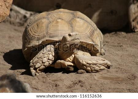 African Spurred Tortoise - Centrochelys sulcata - stock photo