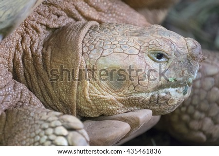African Spurred Tortoise Close up the face - stock photo