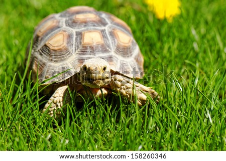 African Spurred Tortoise (Geochelone sulcata) in the garden