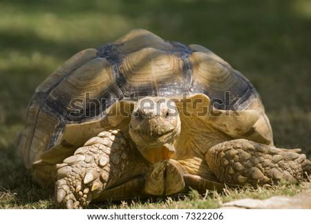 African Spurred Tortoise (Geochelone sulcata) - landscape orientation - stock photo
