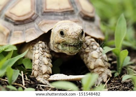 African Spurred Tortoise (Geochelone sulcata) - macro - stock photo