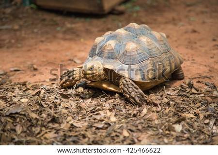 AFRICAN SPURRED TORTOISE (Geochelone sulcata)  tortoises,Land turtle,Sulcata - stock photo