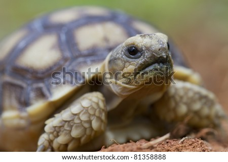 African Spurred Tortoise (Geochelone sulfate) - stock photo