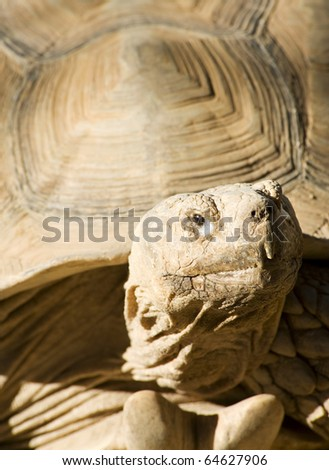 African Spurred Tortoise looking at the camera - stock photo