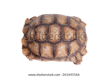 African Spurred Tortoise on white  - stock photo