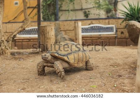 African Spurred Tortoise or Sulcata Tortoise (Geochelone sulcata) - stock photo