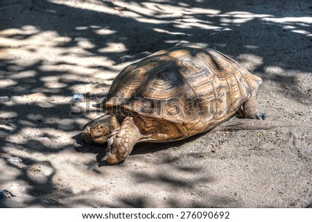 African spurred tortoise sprinting on the desert  - stock photo