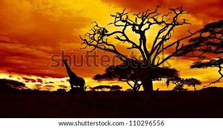African sunset in the savannah with silhouette of giraffe and dead acacia tree, Tanzania. - stock photo