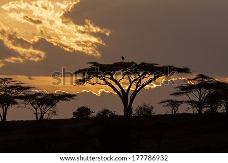 African sunset with acacia and bird - stock photo