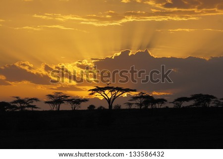 African sunset with  bird perching-in an acacia tree - stock photo